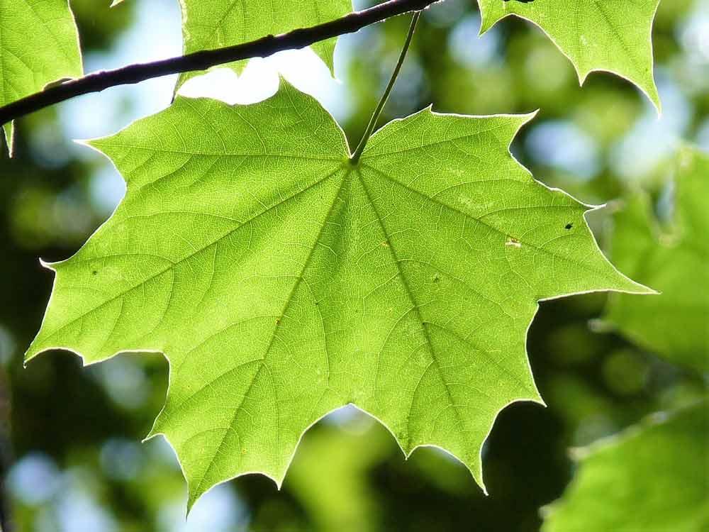 maple-leaf-888807-Pixabay-klein